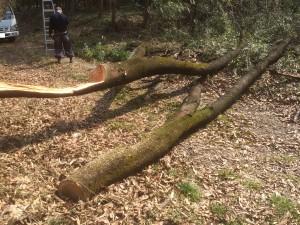 東松山市桜の木伐採完了
