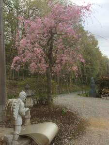 事務所の枝垂桜、東松山市庭工事の抜根作業、川越市外構工事石張り工事完了