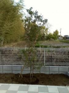 行田市植栽 ブラシノキ