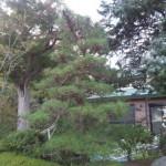 東松山市W様邸庭木の剪定1