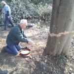 さいたま市岩槻区シラカシ伐採④