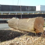 さいたま市岩槻区シラカシ伐採⑦