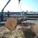 さいたま市岩槻区シラカシ伐採⑧