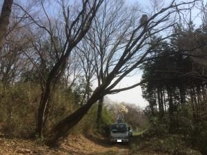 東松山市桜の木伐採1