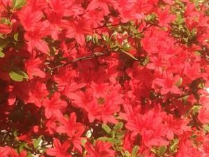 ミチヒラ造園の畑を彩る春のお花、東松山市のお庭工事