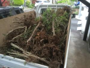 東松山市リガーデンツゲの根ゴミ
